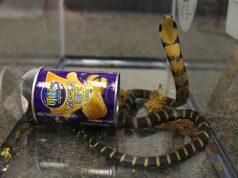 Cobra dans une boite de chips