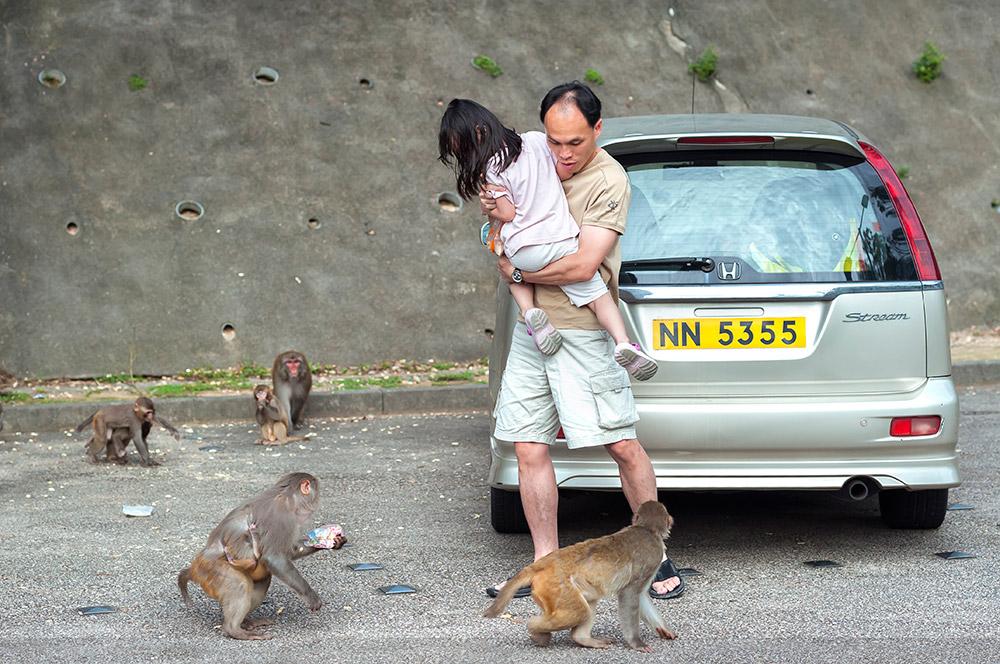 singes aggressifs voiture hong kong