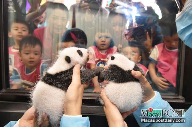 pandas jumeaux Macao