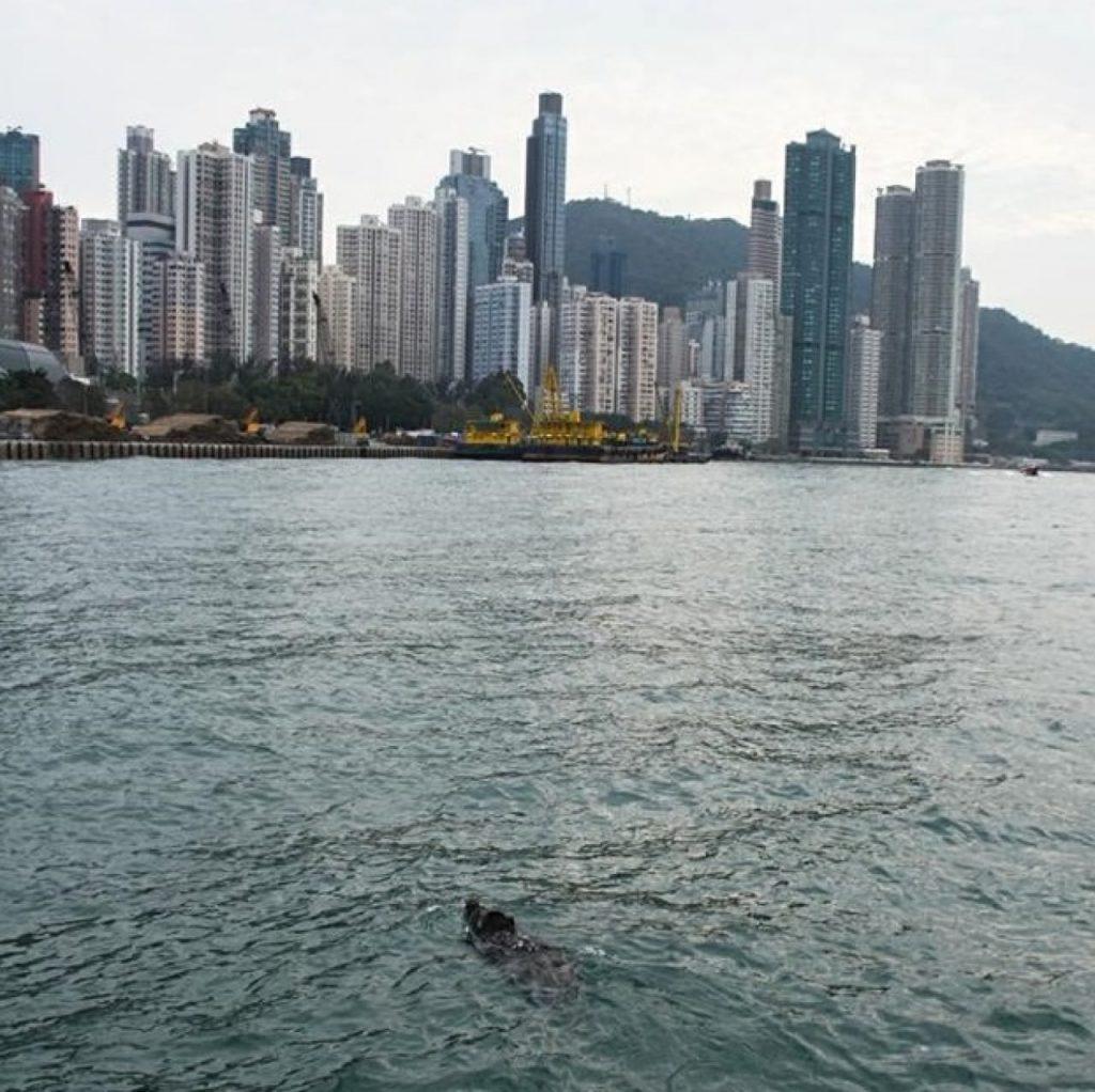 Un sanglier nage à Hong Kong