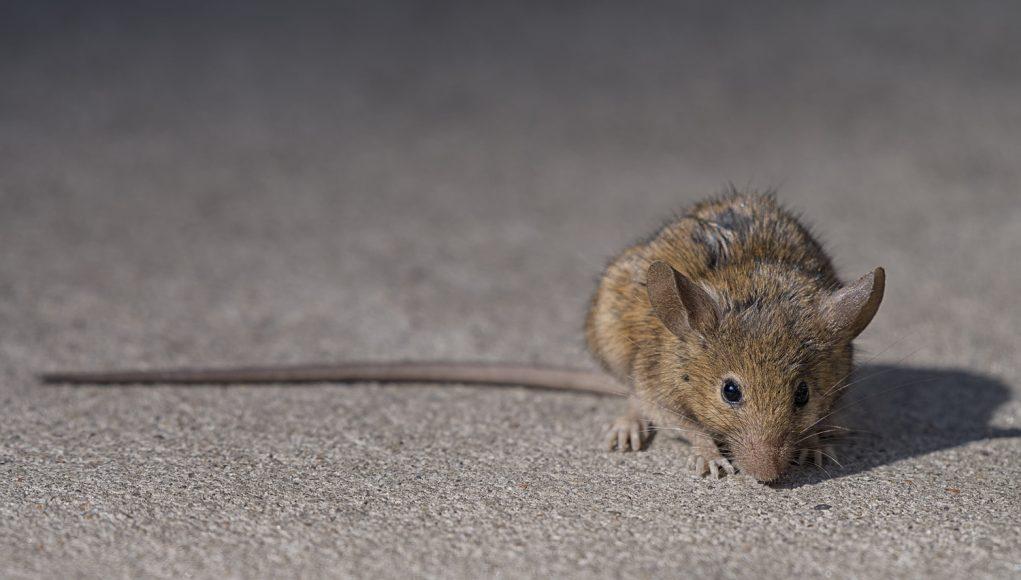 rat HK